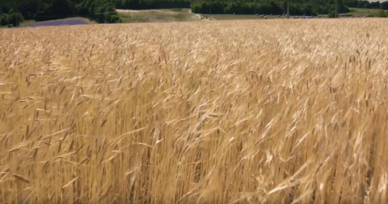 法國黃金麥田農場