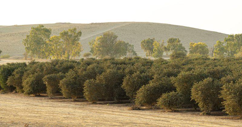 以色列Desert Oasis農場